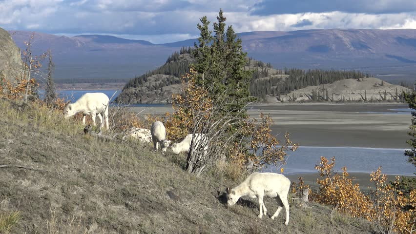 Wildlife Grazing On Beautiful Mountain Ridge, Scenic Canadian Landscape.  Dall Sheep Graze on remote Mountainside above gorgeous rugged landscape in Northern Yukon, Canada