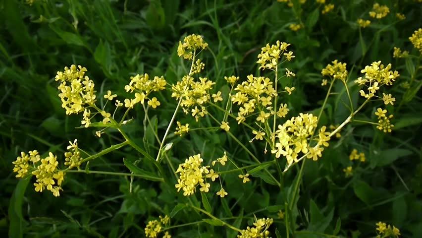 Header of Brassicaceae