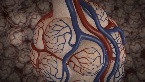 Visualisation of blood flow through the pulmonary capillaries highlighting the gas exchange and flow in the arterioles of the human lung and alveolar sacs