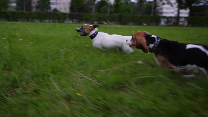 Fast catch-up running of small terrier dog and cute beagle puppy. Slow motion shot, tracking camera. Puppies play on grass at city park, rush around one by one