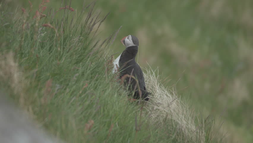 puffin at norways coast