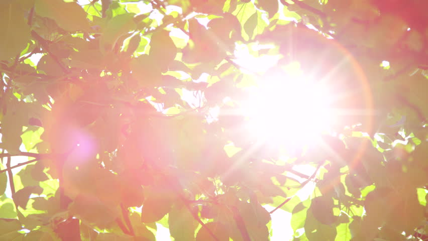 CLOSE UP: Sunbeams shining through lush green leaves on branches in tree canopies. Warm spring sun shining through green foliage in apple tree orchard. Sunrays peaking through fresh leaves