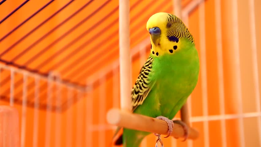 Cute green parakeet budgie bird sits on a swing in the cage playing with a bell