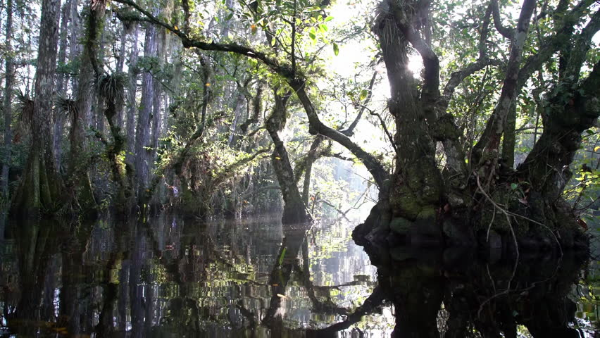 Everglades, Florida-2010s: Panning shot through a foggy swamp in the Everglades.