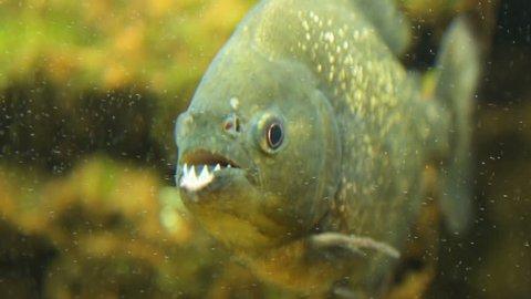 Close-up shot of piranha nattereri in aquarium showing its sharp teeth