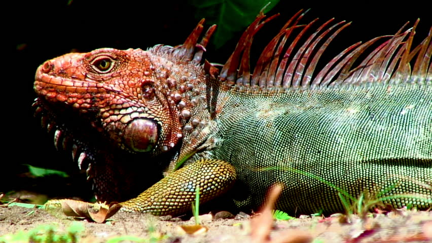Close-Up Of Iguana Lizard In Dominical, Costa Rica