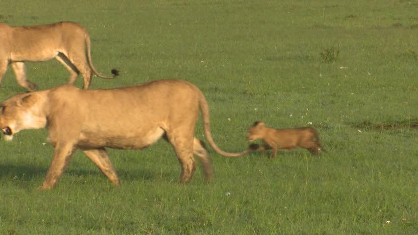 Header of Lions