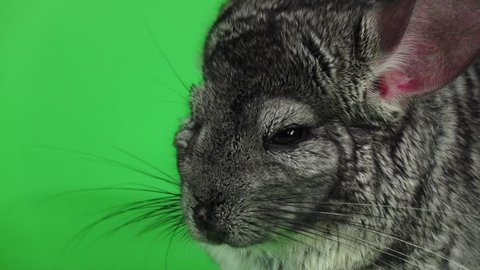 Gray chinchilla sleeps with closed eyes, green screen. Slow motion