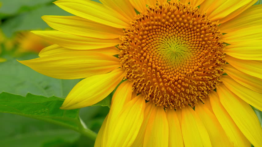 Sunflowers swaying in wind in hot summer day  | Shutterstock HD Video #28755208