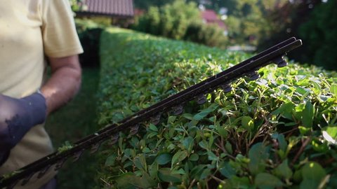 Gardener trimming hedge in garden with electric trimmer for hedge.