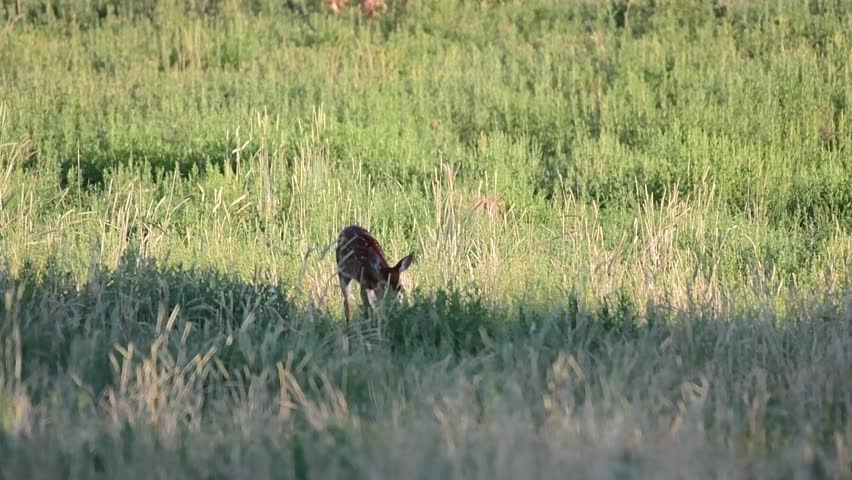 A Baby Deer Fawn Approaches