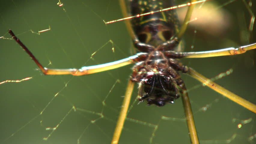Orb web spider (Nephila sp.) in the Ecuadorian Amazon