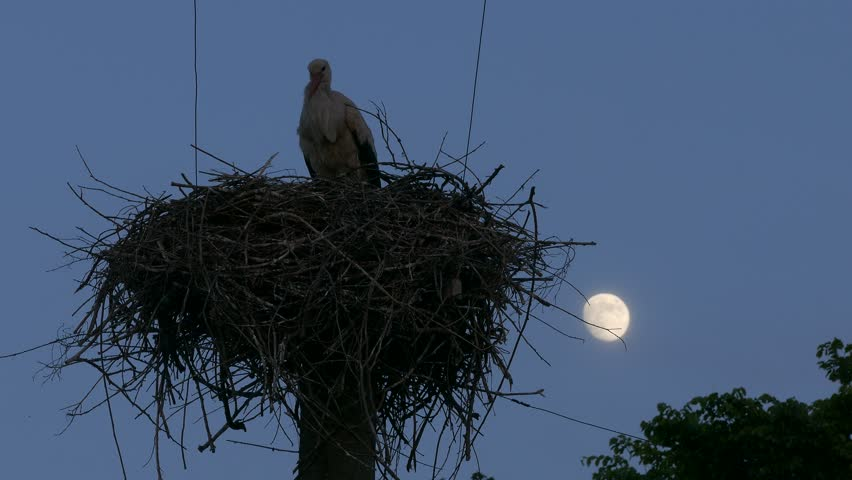 Ungraded: White stork in the nest on the power line column sits down in the nest against evening sky background with waxing moon shining and other birds flying by.