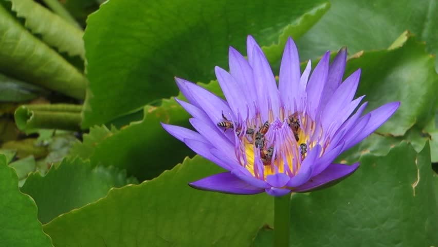 Time Lapse Lotus Blooming Hd Stock Video Clip