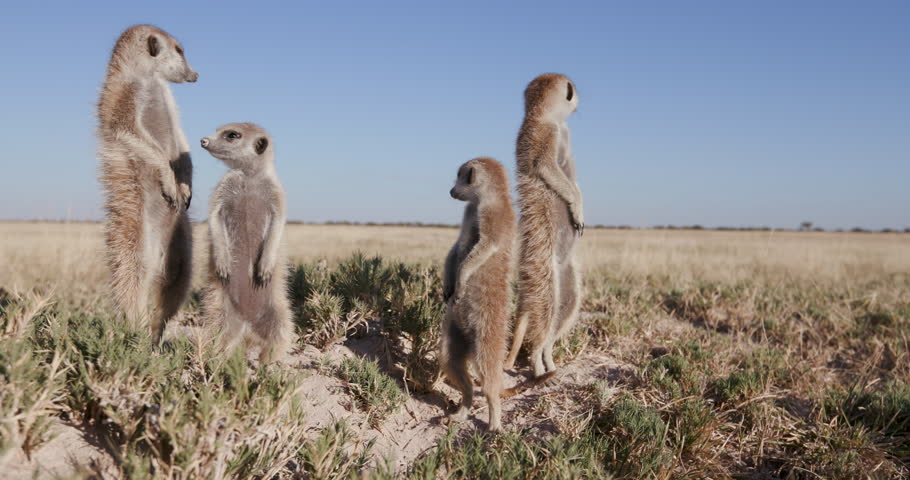 Funny animal.Four meerkats standing up on sentry duty,looking into the distance,Botswana #28864768