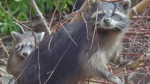 Raccoon. Wild North American raccoon looks at camera. raccoon (procyon lotor) climbing a tree .