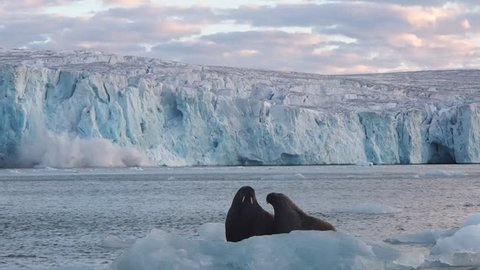 Walruses on iceberg escape from the collapse of the ice