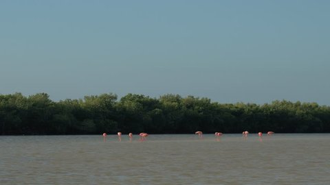 A large flock of beautiful pink flamingos surrounded by lush mangrove forest in sunny Rio Lagartos lagoon, Mexico. Tropical wading birds standing in mudflat feeding on small shrimps & fish in the sea