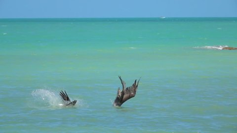 SLOW MOTION, CLOSE UP: Two hungry wild pelicans hunt fish in a beautiful emerald sea on the Yucatan peninsula, Mexico. Wild pelican descending from the sky plunging into the water to catch a meal