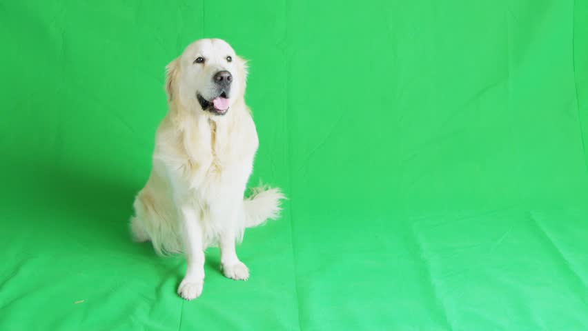 Golden retriever on green chroma key background.