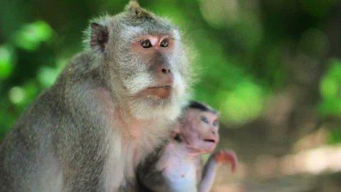 a monkey family in uluwatu temple, Bali