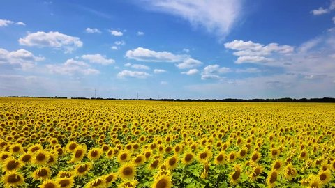 drone video field of blooming sunflowers
