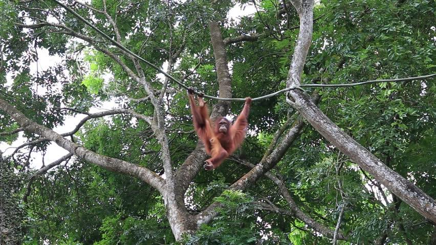 Young orangutan hangs on liana in the jungle, Singapore