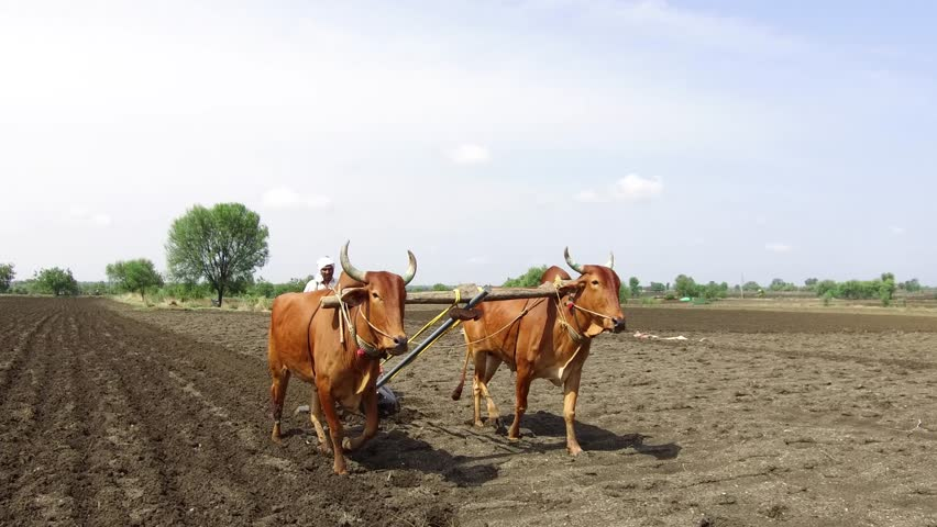 Farmer sowing seeds with seed cum fertilizer drill machine works with bulls in rural village Salunkwadi, Ambajogai, Beed, Maharashtra, India, Southeast Asia
