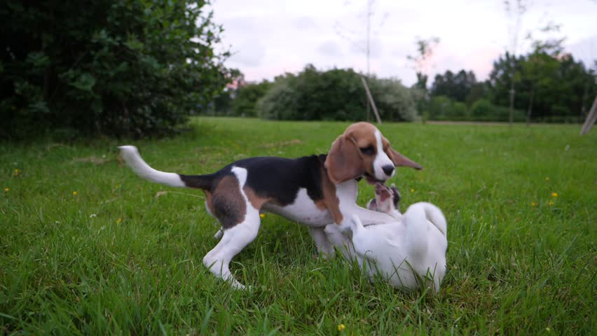 Active puppies struggle on grass, slow motion shot. Small Beagle in funny fight with little Jack Russell terrier. One stay over lying another, typical dog game, puppy play together | Shutterstock HD Video #29005078