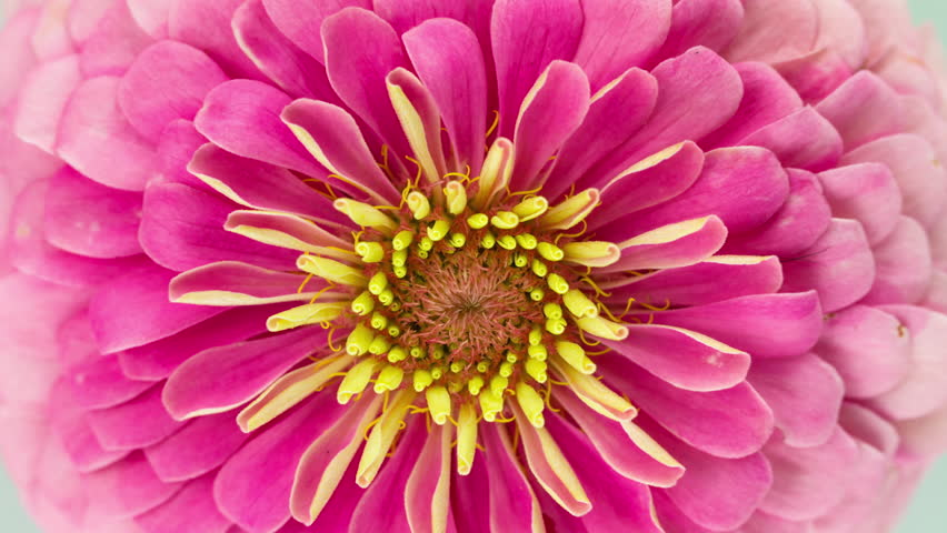 Pink Zinnia Flower Blooming. Close-up Time Lapse.