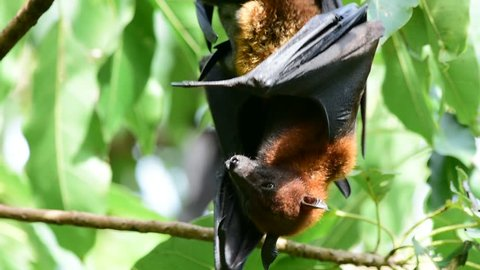 Flying Fox hanging upright swinging branch and tree leafs, big fruit bat in nature