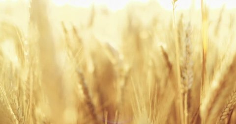 Wheat Field at Sunrise, CLOSE UP. SLOW MOTION 4K. Ears of wheat swaying at the wind at beautiful sunny morning. Harvest and Crop concept. Peaceful Cinematic Field, Lens Flare