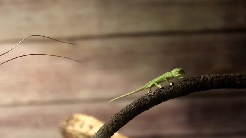 Tiny chameleon leaves the scene