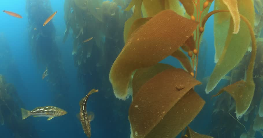 Calico bass hiding in giant kelp forest