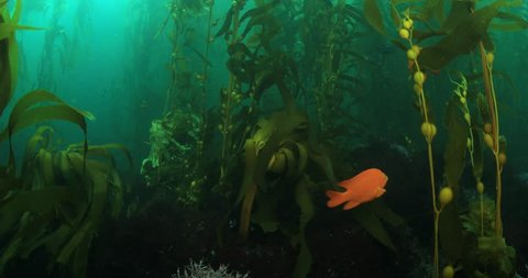 Garibaldi fish in kelp forest