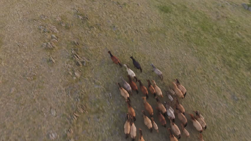 AERIAL: View from top on the herd of running horses in mountains, among rocks and dry grass. Wild nature in all its glory. Sunset in the late summer.