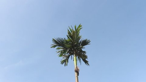 areca trees and sky