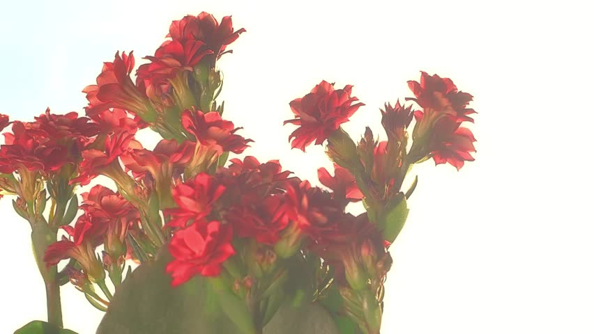 Kalanchoe red flowers. Rotating slider shot against sun coming through the home window