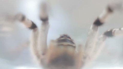 A tarantula spider close up