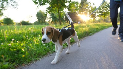 Young and cute beagle dog at walk in city park, go ahead owner on leash, slow motion shot. Beautiful sunny evening, bright sun flash through trees. Doggy walk at path side, long ears and tail in air