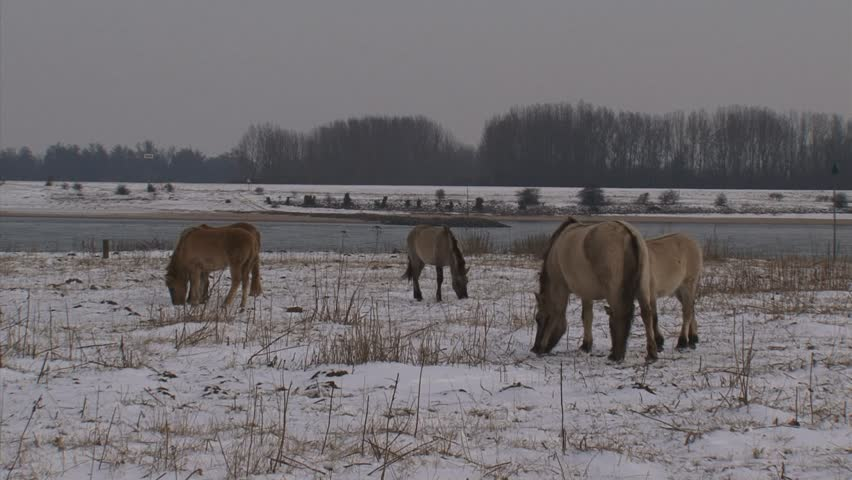 herd of konik horses graze in snow covered river landscape  - river Waal in background