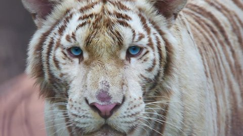 Close up white tiger face with blue eyes concentrate on camera.