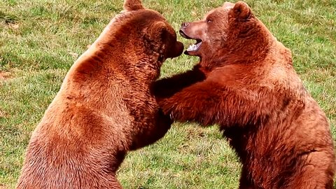 Bears fighting in nature reserve of Cabarceno, Cantabria, North Spain. The natural park is home to a hundred animal species from five continents living in semi-free conditions.