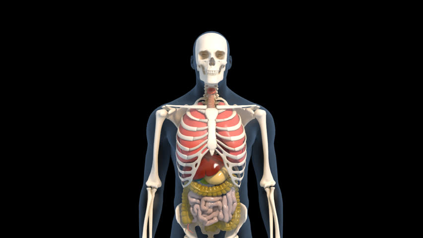 skeleton total body muscle stock footage video 8326246 | shutterstock, Muscles