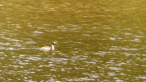 Great crested grebe (Podiceps cristatus) is member of grebe family of water birds noted for its elaborate mating display. Scientific name comes from Latin. Podiceps is from podicis and pes, foot.