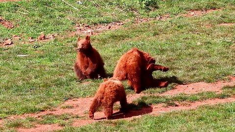 Bear cubs playing and fighting together in nature reserve of Cabarceno,Cantabria, North Spain. The natural park is home to a hundred animal species from five continents living in semi-free conditions.
