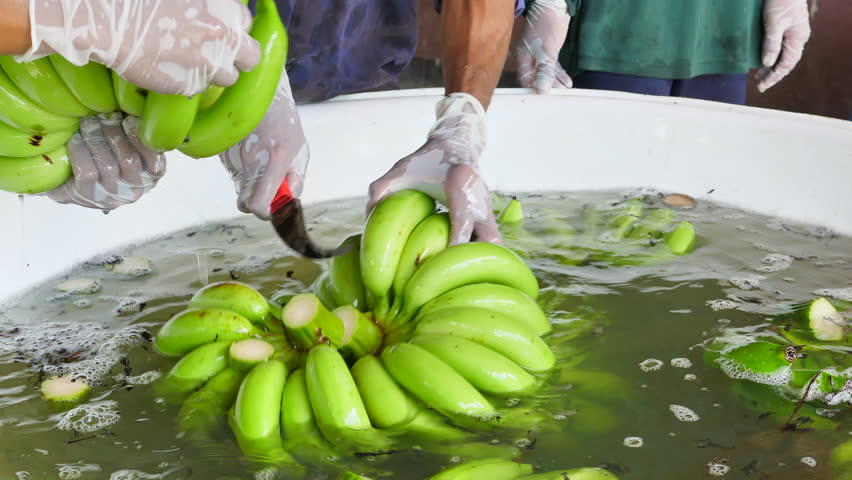 Advertise, Best fruit, Health, Business concept - Close up a man cutting the green banana branches at banana farm. Farmer wears gloves cut green banana in water.