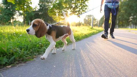 Pensive young beagle walk on leash with owner at sunny park, slow motion tracking shot. Small dog go along asphalt path, green grass and sun light on background, warm summer day evening