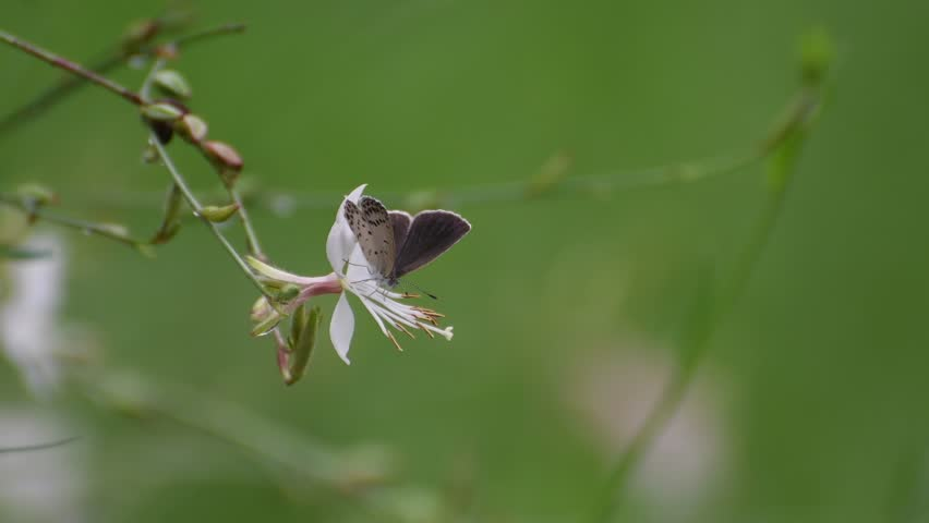 A female pale grass blue(Pseudozizeeria maha) rests on the white gaura flowers(Gaura lindheimeri)