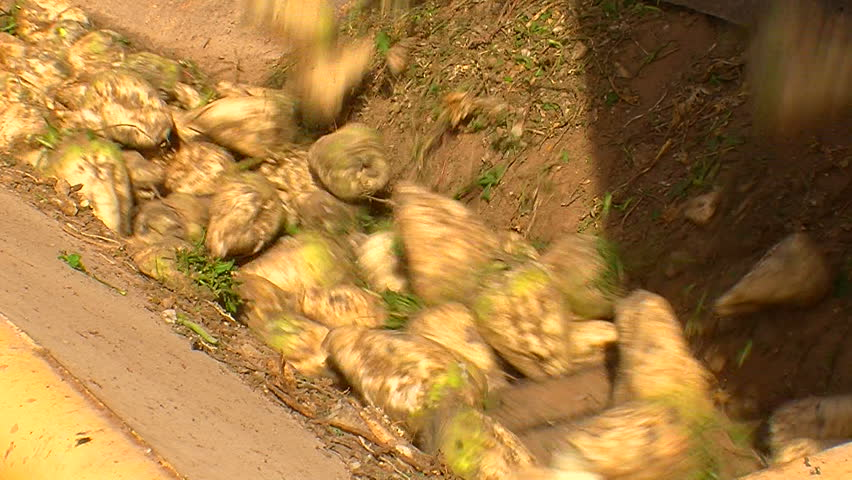 Sugar beet harvest and storage ( Series 2 - Version from 1 to 10 )